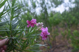 Desert Willow 'Bubba' Bloom - So much prettier than its name