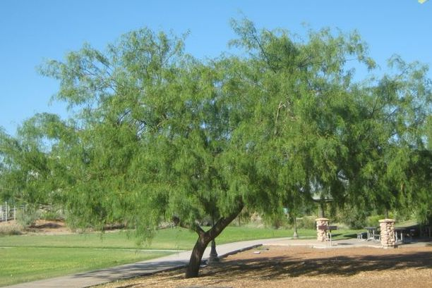 honey-mesquite-tree